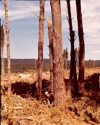 Fletcher Timber Co Ltd (formerly Afforestation Proprietary Ltd) - Tauhara Forest: 1975 Tauhara Forest