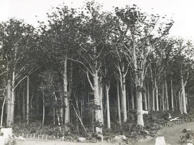 NZ State Forest Service: Oct1928 British Empire Forestry Workers' Conference (held in NZ and Australia) - view of unidentified forest