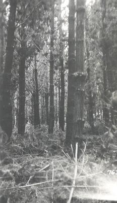 NZ State Forest Service: 1936 Kaingaroa, Bay of Plenty - radiata plantation - after thinning
