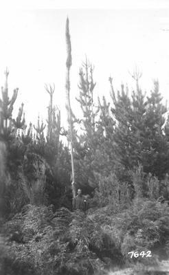 NZ State Forest Service: 1936 Kaingaroa, Bay of Plenty - radiata plantation - hypertropied terminal in Pinus Radiata