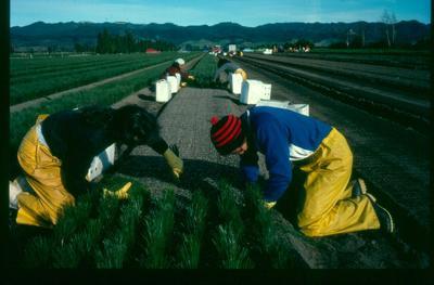 Tasman Forestry Ltd: Te Teko nursery - 1984 Seedling planting