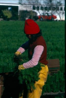Tasman Forestry Ltd: Te Teko nursery - 1981 Worker holding a bunch of seedlings