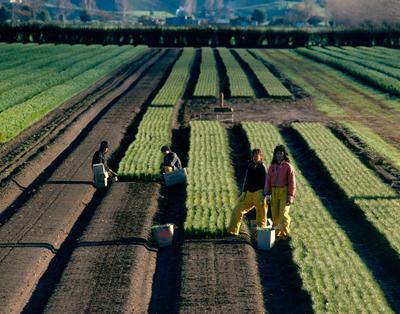 Tasman Forestry Ltd: Te Teko nursery - 1988 Four workers planting seedlings