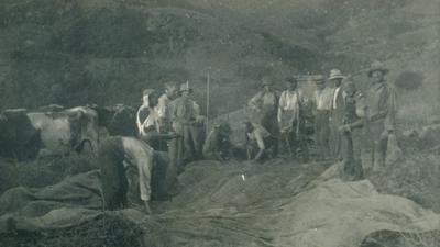 Wright, Stephenson & Co Ltd: Feb1930 Harvesting Cocksfoot -  preparing for riddling on property of F W Williams, Akaroa, Canterbury