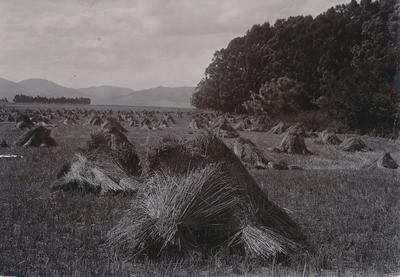 Wright, Stephenson & Co Ltd: 1930 Heavy wheat crop at Seddon, Marlborough District