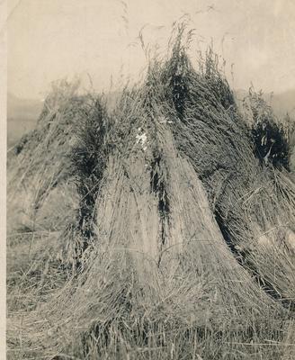 Wright, Stephenson & Co Ltd: 1945 Sheafs of wheat awaiting pick-up