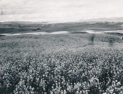 Wright, Stephenson & Co Ltd: 1930 Plants - turnip/swede in field (a) Turnip crop in flower, Ex J O Wallace; N Kelly Den; John Hunt's Turnip Seed?