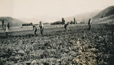 Wright, Stephenson & Co Ltd: 1930 Harvest - agricultural workers with turnip/swede, John Hunt's Turnip seed?