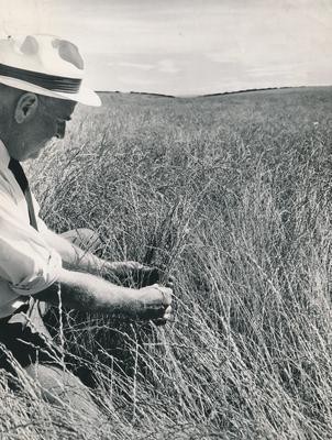Wright, Stephenson & Co Ltd: 1958 Plants - inspection of pedigree short rotation rye grass, Kingsdown, South Canterbury by Departmental officer