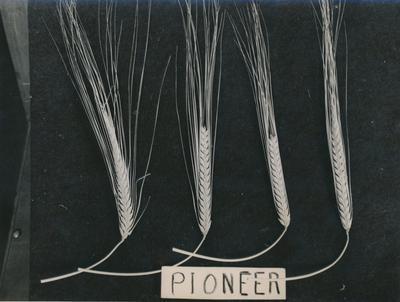 Wright, Stephenson & Co Ltd: 1960 Pioneer Wheat Sample