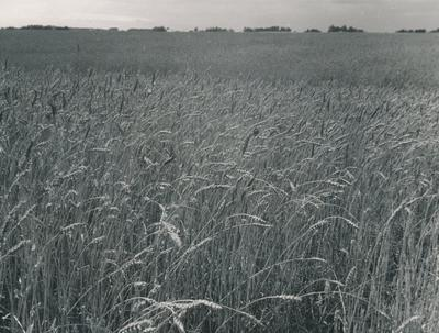Wright, Stephenson & Co Ltd: 9Jan1978 Barley Fields, South Island