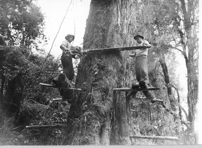 Fletcher Timber Co Ltd - Utuhina and Te Rimu (South Waikato District) and other areas: 1955 Rimu being felled with power chain saw from jigger boards, Utuhina (l) R Hulton
