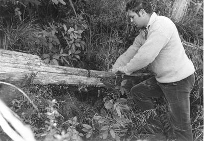 Fletcher Timber Co Ltd (formerly Afforestation Proprietary Ltd) - Tauhara Forest: 1972 Totara water trough nearly 100 years old and a remnant of the Maori settlement of Opepe is uncovered in Tauhara Forest; by the trough is Forest Superintendent L Crofskey