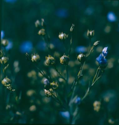 Fletcher Holdings Ltd: 1975 Linseed in flower