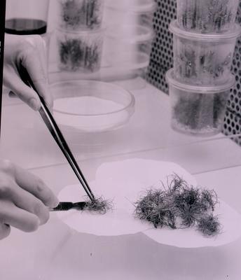 Tasman Forestry Ltd: Te Teko nursery - 1988 Hands trimming tissue culture in the lab, close up