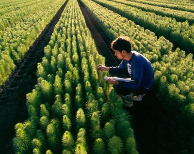 Tasman Forestry Ltd: Te Teko nursery - 1993 Nurseryhand Norman Semmens measures and records the growth of one-year old radiata seedlings at Te Teko
