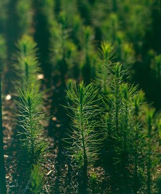 Tasman Forestry Ltd: Te Teko nursery - 1993 Various shots of radiata seedlings 1 year old