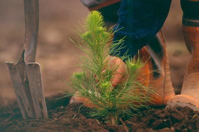Fletcher Challenge Forests Ltd: 1996 Close up of young pine being planted