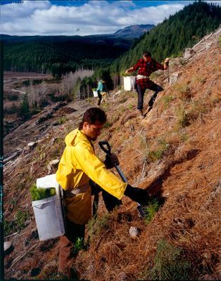 Tasman Forestry Ltd: 1991 Radiata pine being planted in central North Island