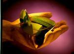 Tasman Pulp & Paper Co Ltd, Kawerau: 1997 picture of Eucalypt leaf being held in rubber gloved hand